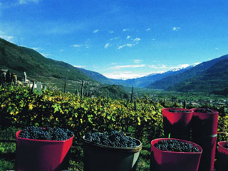 Bild von Weinberg in Valtellina